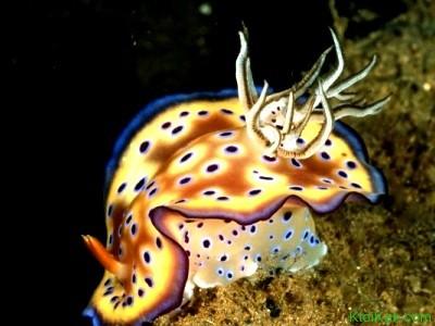 голожаберные моллюски