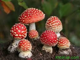 интересные факты о ядовитых грибах