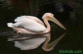 розовый пеликан интересные факты