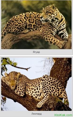 ягуар и леопард